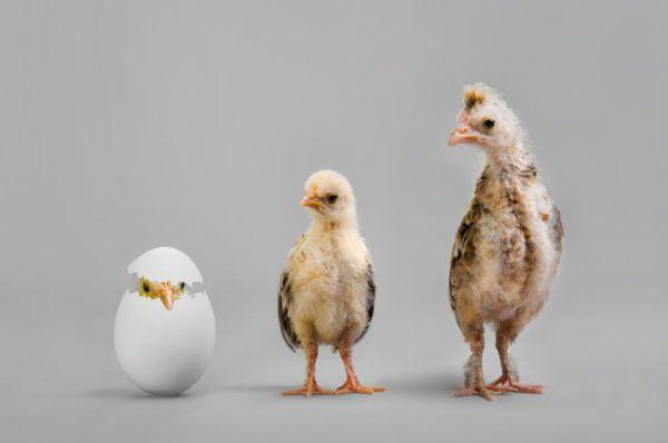 Развитие курицы