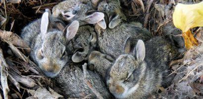 Крольчиха родила, что делать