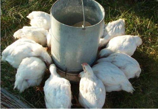 Комбикорм старт для цыплят бройлеров своими руками