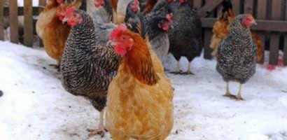 Чем кормить кур зимой чтобы несли яйца?