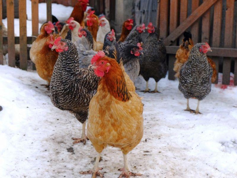 Чтобы куры несли крупные яйца чем кормить