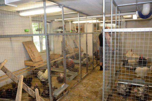 Куриная ферма на 1000 голов окупится через год