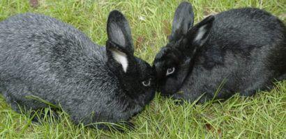 Крольчиха не подпускает крола