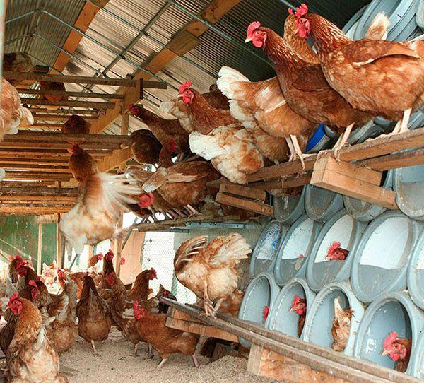 Домашняя куриная ферма из подручных материалов
