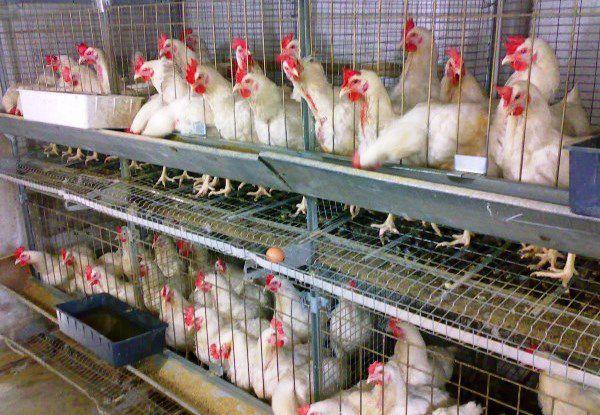 Профессиональная куриная ферма