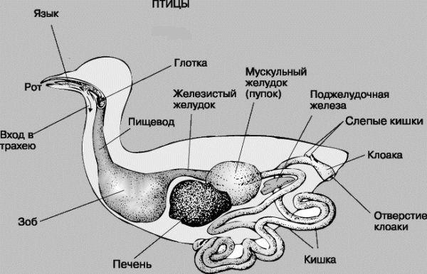Анатомия гуся
