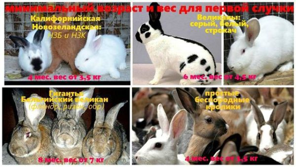 Возраст наступления половой зрелости кроликов разных пород