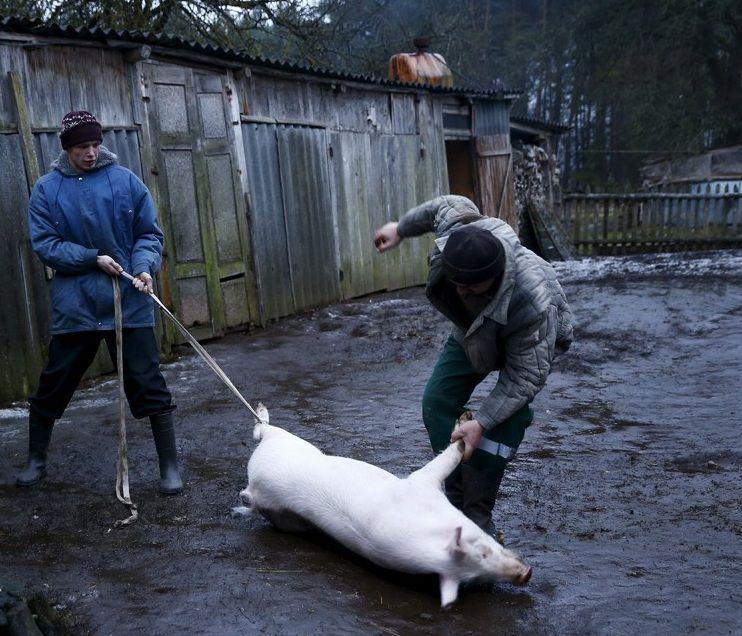 Для забоя свиньи достаточно двух человек, один наносит удар, второй удерживает ноги