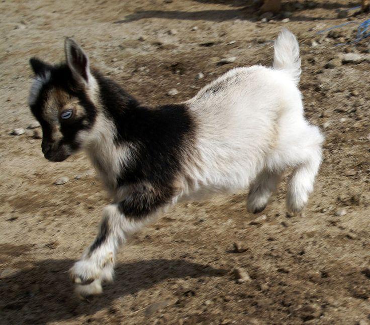 Камерунская декоративная коза