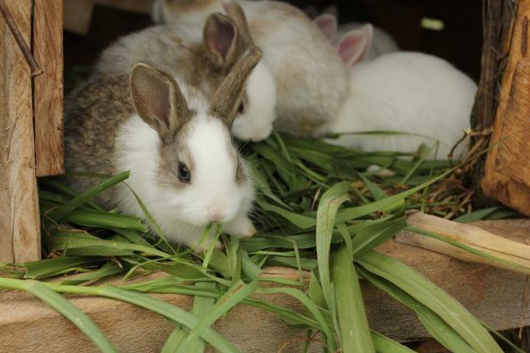 Чем кормить кроликов, чтобы они набирали вес?