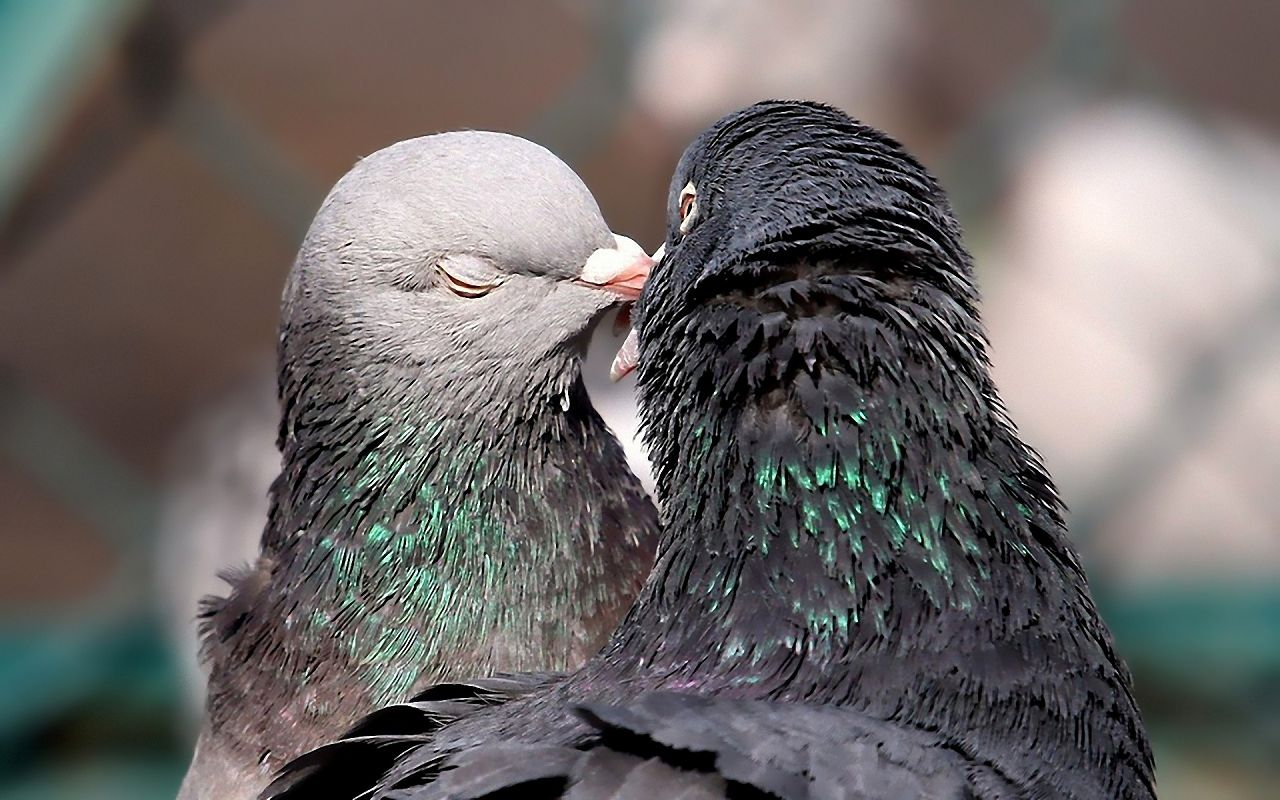 Голубиная пара в период брачного сезона. Голубь (слева) и голубка (справа)