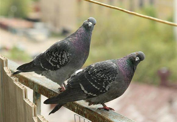 Сизые голуби