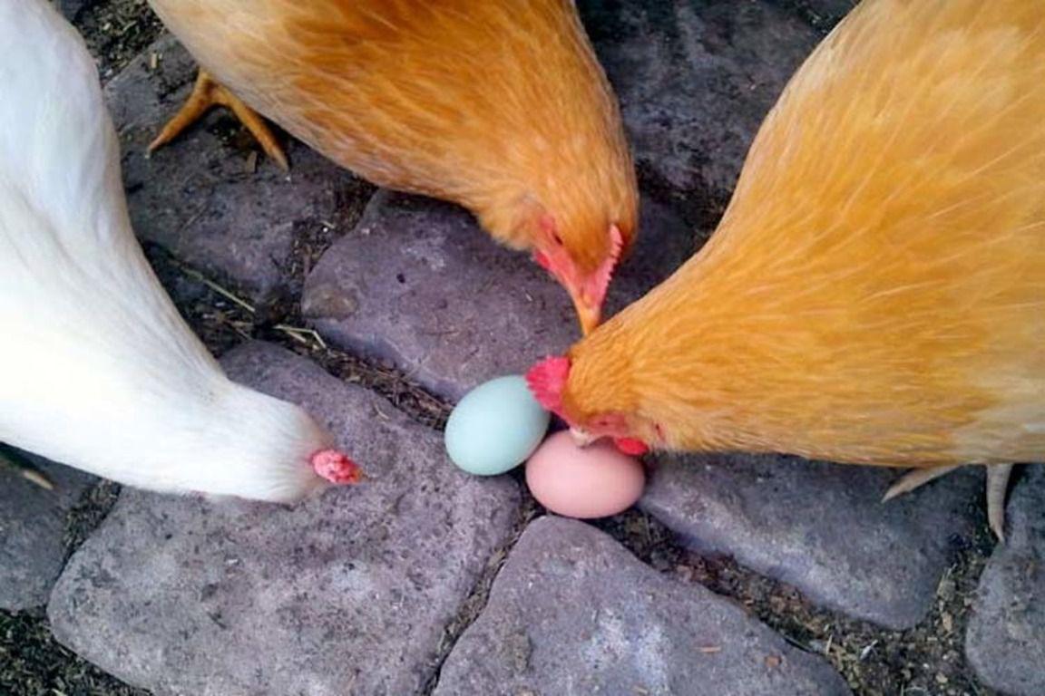 Куры клюют яйца: причина и что делать