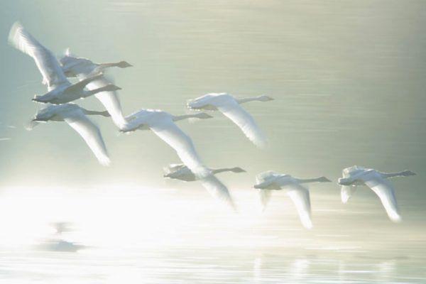 Стая перелётных лебедей-кликунов