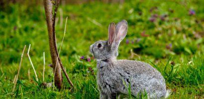 Порой кролики предпочитают сочной траве веточный корм