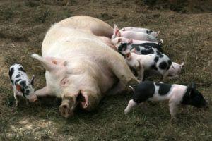 Свиньи белой породы прекрасно уживаются с представителями других пород