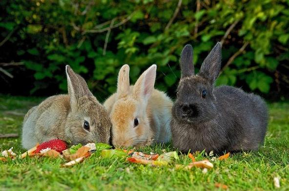 Питание кролика пищевыми отходами