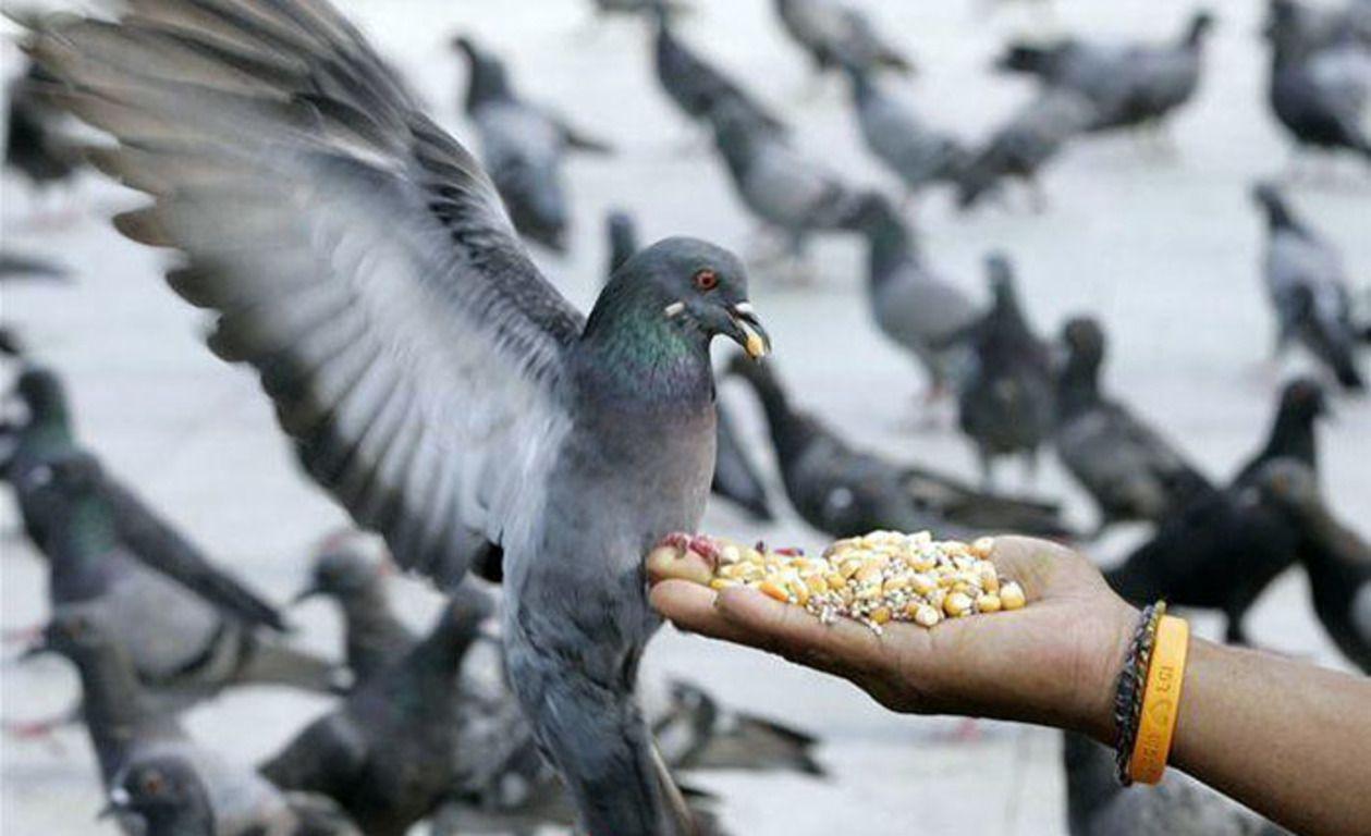 Голубь будет есть корм только в том случае, если он будет уверен в возможности быстро покинуть место кормежки