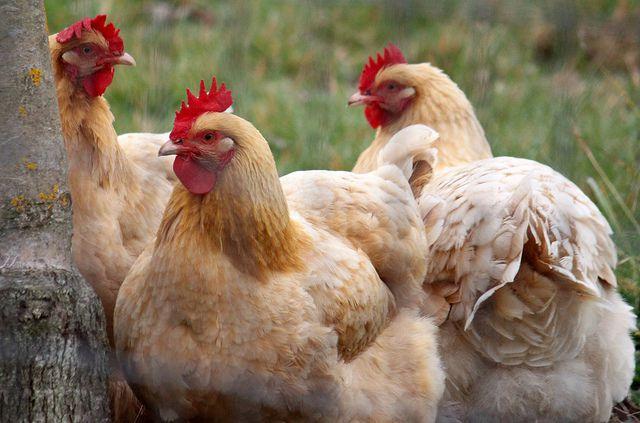 Куриц лучше закупать весной
