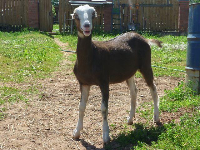 Считается, что маленькие уши, являющиеся визитной карточкой коз Ламанча, относятся к недочетам породы, поскольку на них трудно ставить тавро