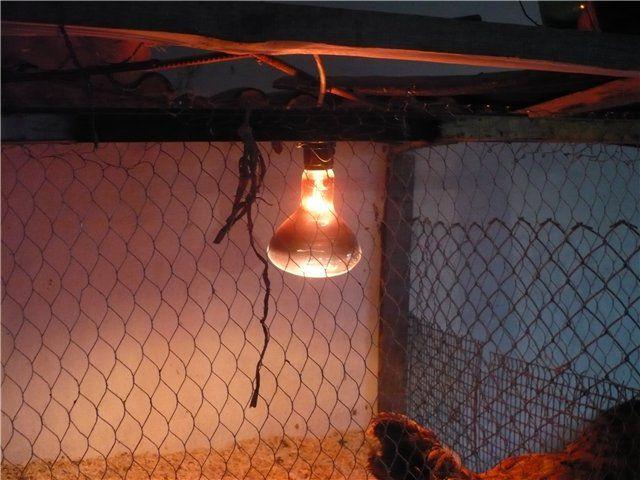 Нередко в птичниках применяются инфракрасные лампы, которые наряду с достаточным освещением создают дополнительный подогрев
