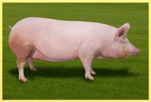 Свиньи склонны к ожирению