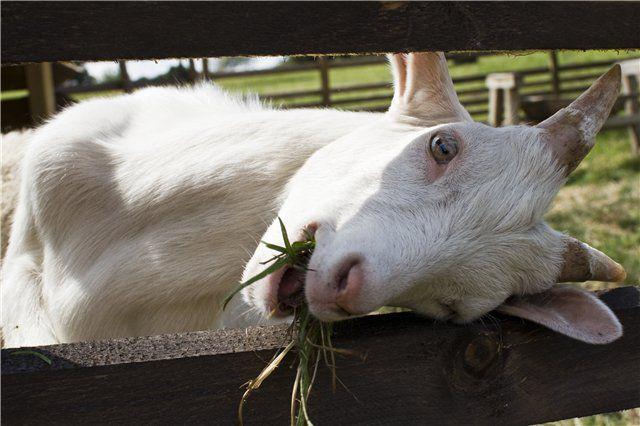 Больная коза
