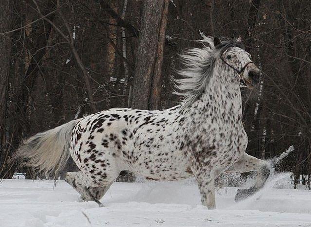Алтайскую лошадь вывести проще других