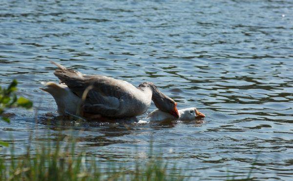 Спаривание гусей в водоеме