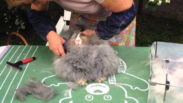 Стрижка пухового кролика