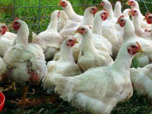 Курицы гибридного направления