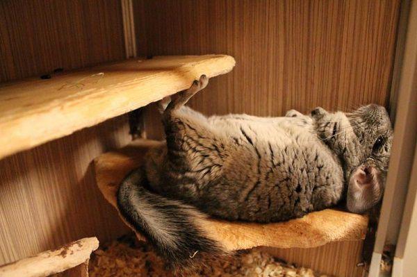Не бойтесь, что зверьку будет неудобно лежать на спине, эта поза для него вполне физиологична