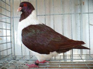 Красный чешский штрассер