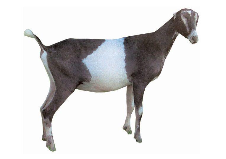 Римский нос коз Ламанча расценивается как недостаток, ухудшающий привлекательность вида