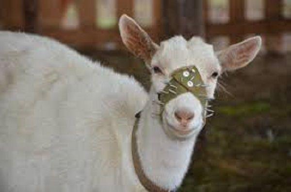 Намордник для козы