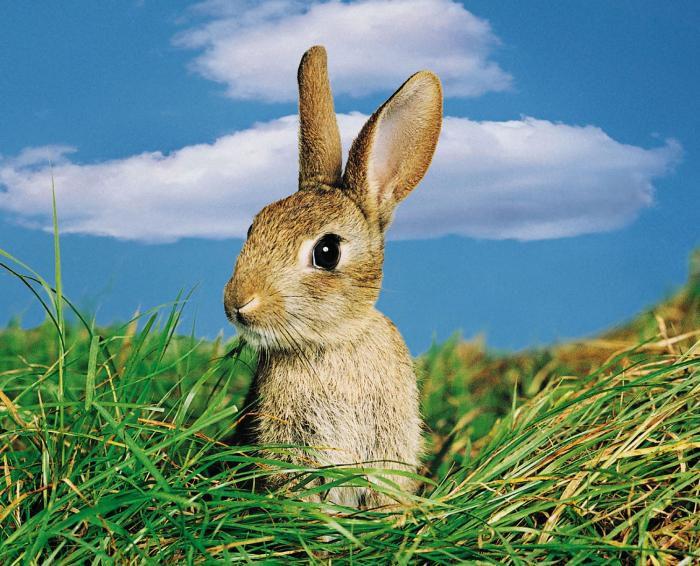 В месяц кроликам уже можно давать траву