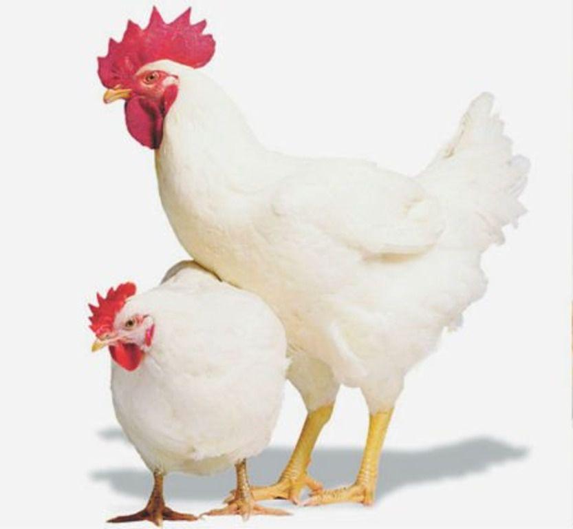 Русская белая курица
