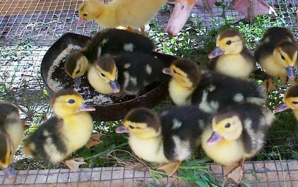 В первые дни утят кормят в основном вареными яйцами и зеленью