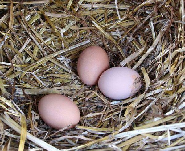 Куры, поедающие проросшую пшеницу, несут по-настоящему большие яйца