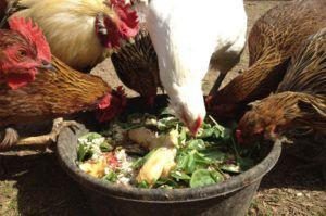 Кормление кур с собственного огорода