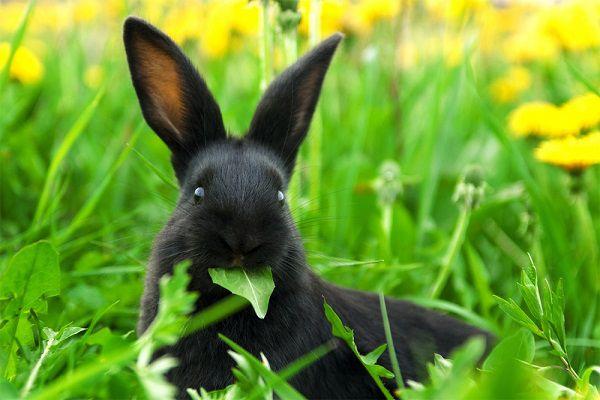 В диких условиях кролик съедает большое количество зеленой травы