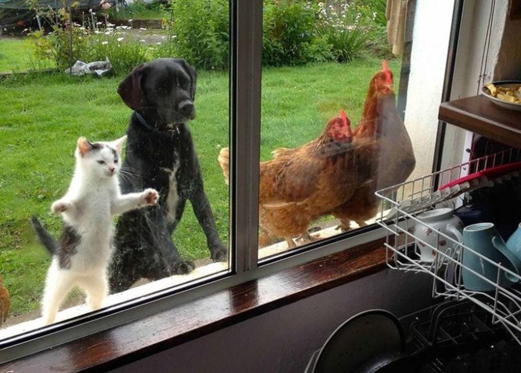 Когда курице скучно, она будет искать себе занятие, чтобы развеять тоску, и не ограничивается одним лишь подсматриванием за бытом человека