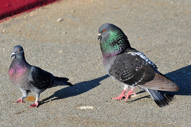 Голубь старается произвести впечатление на голубку. Отличить самца от самки легче всего в брачный период.