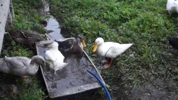 За 12 часов до забоя утки только пьют воду, есть им не дают
