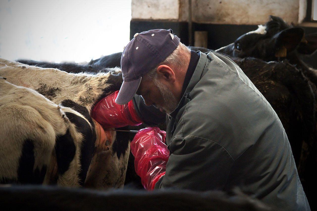 При влагалищном методе ИО , человек сам должен поместить специальную губку в половые органы животного и забрать обратно после случки