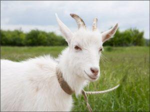 Привязанная коза
