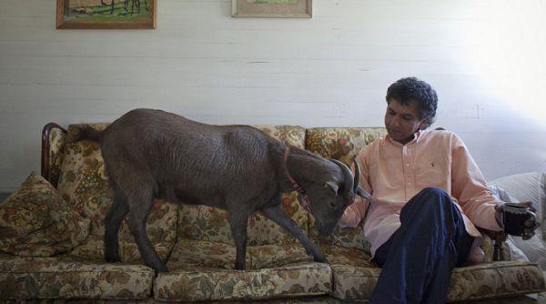 Коза относится к хозяину так же преданно, как собака