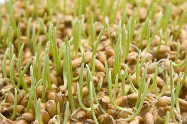 Добавляя проросшую пшеницу в рацион кур, вы вносите огромный вклад в здоровье и производительность птиц