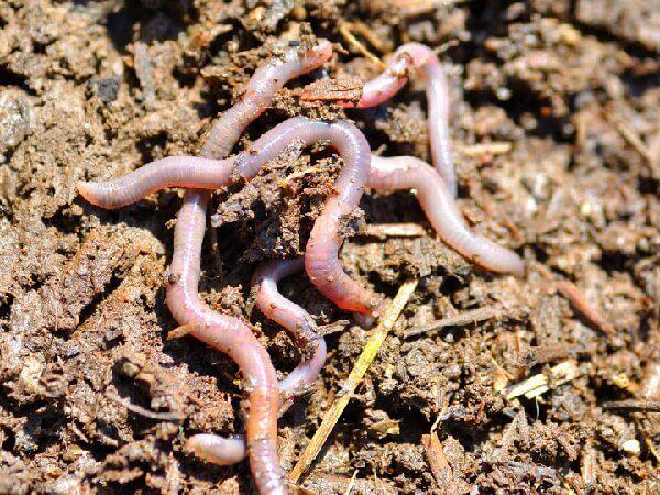 Дождевые черви – источник животного белка
