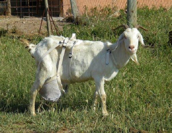 Лифчик для козы, сделанный по аналогии с человеческим бюстгальтером
